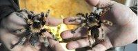 Paczka z groźnymi pająkami trafiła pod zły adres